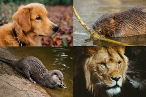 otter lion beaver retriever personality test